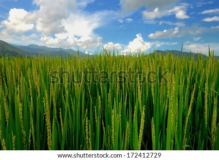 Rice plantation in the sunlight, Vietnam - stock photo