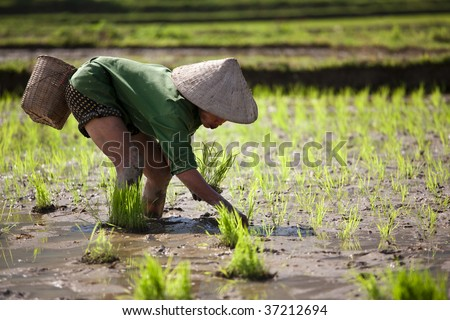 Rice Planting - stock photo