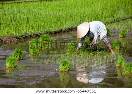 Rice Planting - stock photo