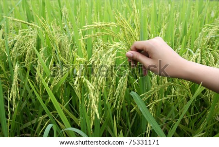 rice plants with women hand - stock photo