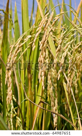 rice,ready to harvest