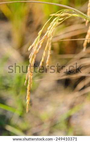Rice ready to harvest, Rice field, Nakornpathom, Thailand - stock photo
