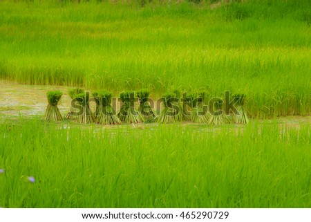 rice seedling in rice paddy Farming