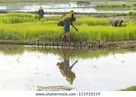 Rice seedling transplanting in northern part of Thailand