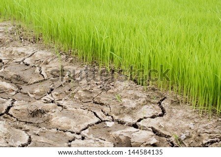 Rice Seedlings Field