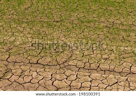 Rice seedlings growing on parched ground, which may fall dead. - stock photo