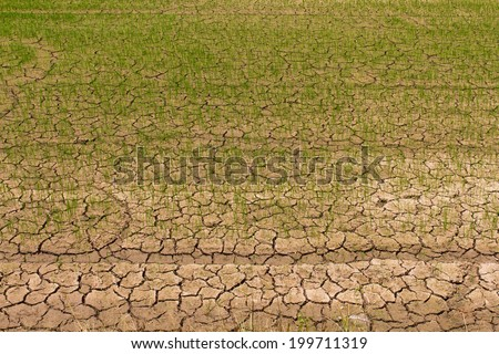 Rice seedlings growing on parched ground, which may fall dead  - stock photo
