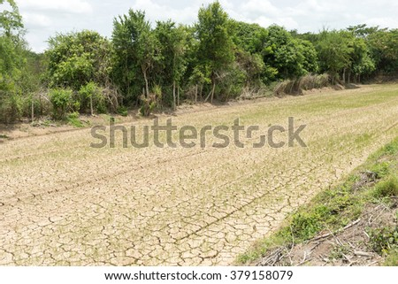 Rice seedlings growing on the barren fields. - stock photo