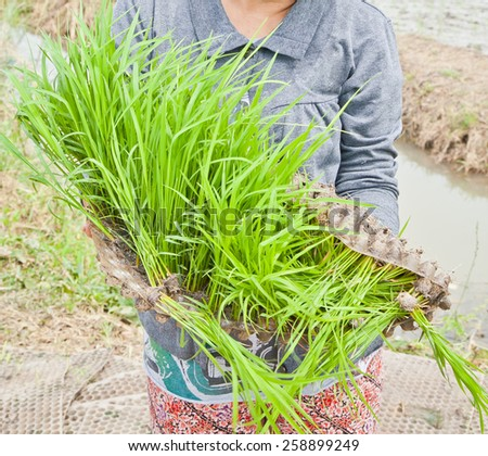 Rice seedlings in the cultivated