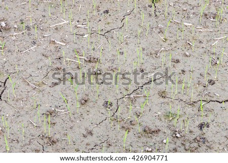 Rice seedlings in the dry soil of the organic farmland,Thailand. - stock photo