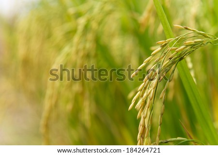 Rice spike in rice field - stock photo