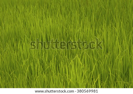 Rice sprouts ready for planting, soft focus made for background. - stock photo