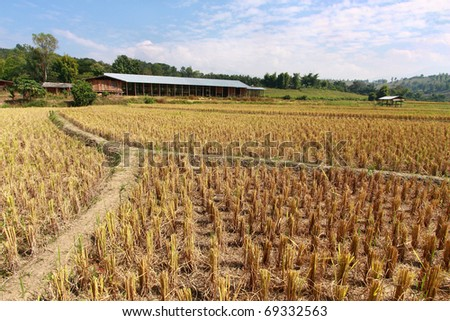 rice stubble with barn on background - stock photo