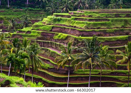rice terrace, Bali, Indonesia - stock photo