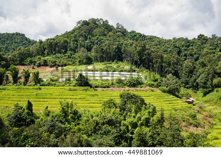 rice terrace field , rice paddy , rice plant growing in Chiangmai