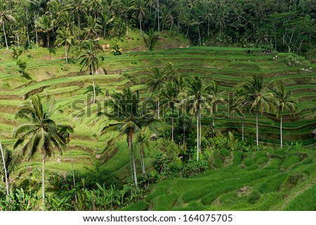 rice terrace near ubud bali indonesia under partly sunny day taken in October 2013 - stock photo