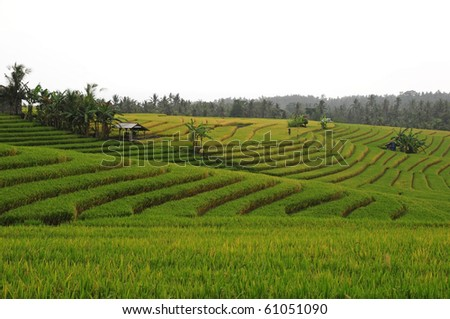 Rice Terraces at Bali, Indonesia