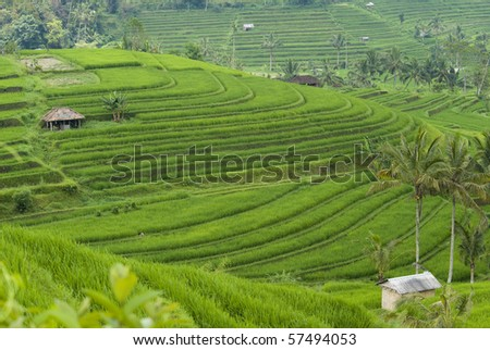 Rice terraces in Tegalalung valley, Bali. - stock photo