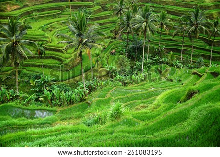 Rice terraces in Ubud, Bali island, Indonesia - stock photo