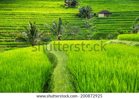Rice terraces of Bali Island,Jatiluwih, near Ubud,  Indonesia. Asia - stock photo