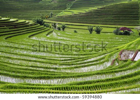 Rice Terraces on Bali  Indonesia - stock photo