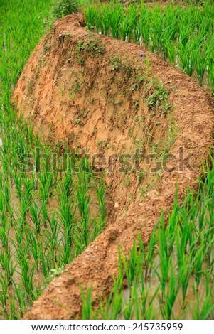 Rice Terraces, South East Asia/ Sapa Vietnam  Rice fields prepare the harvest at Northwest Vietnam - stock photo
