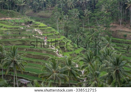 Rice terraces ubud, Bali, Indonesia - stock photo
