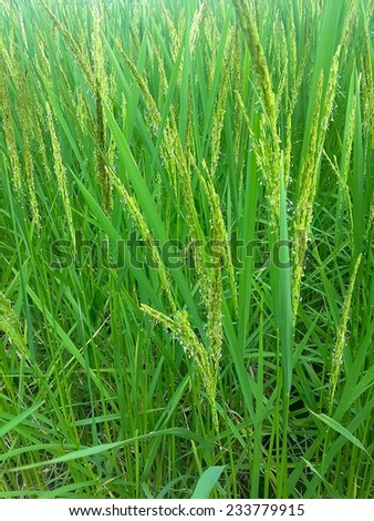 rice tree - stock photo