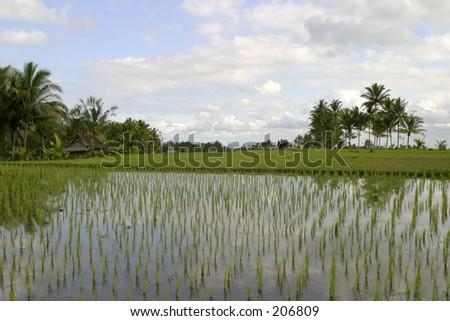 Ricefield near Ubud, Bali - stock photo