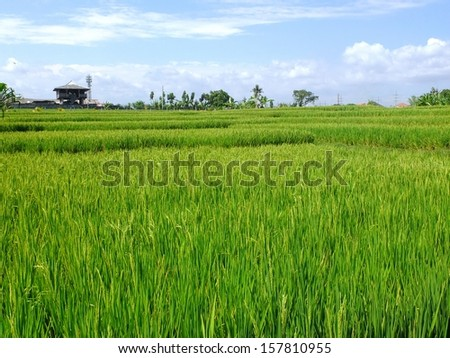 Ricefield on farm, Bali, Indonesia. - stock photo
