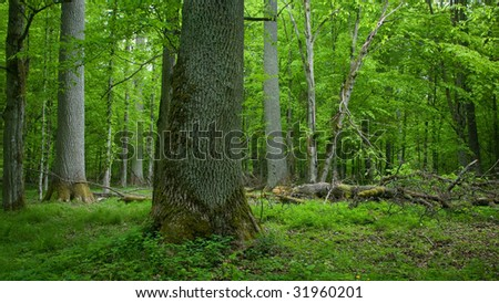 Rich deciduous stand of Bialowieza Forest in springtime with old oak tree in foreground and broken one in background - stock photo