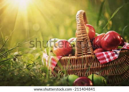 Rich organic apples in a basket outdoors. Autumn harvest of apples in a basket on a green grass in a garden. Instagram effect - stock photo