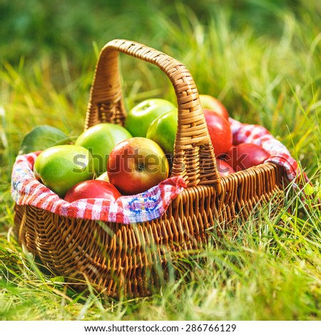 Rich organic apples in a basket outdoors. Autumn harvest of apples in a basket on a green grass in a garden.  - stock photo