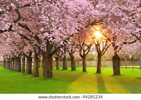 Richly blossoming cherry tree garden on a lawn with the sun shining through the branches - stock photo