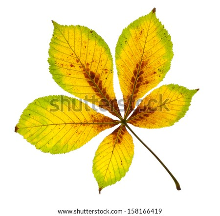 Richly Coloured Horse Chestnut Leaf isolated on white with clipping path - stock photo