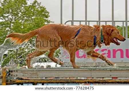 RICHMOND, VA - MAY 14: Beautiful Golden Retriever walking on the ramp after a valiant effort in the Ultimate Air Dogs Competition during the Dominion Riverrock event on May 14, 2011 in Richmond, VA.