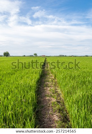 Ridge path in the paddy field of Thailand - stock photo