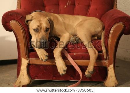 Ridgeback dog resting in red armchair - stock photo