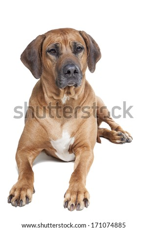 Ridgeback on a white background in studio