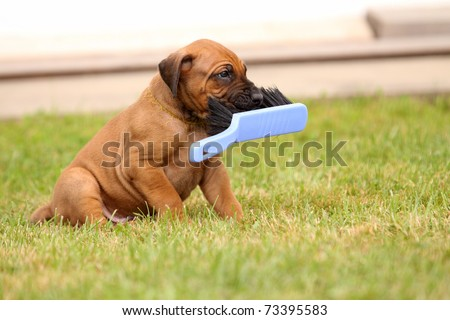ridgeback puppy playing with broom