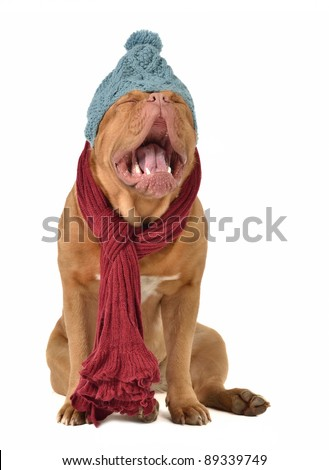 Ridiculous dog with winter clothing isolated - stock photo