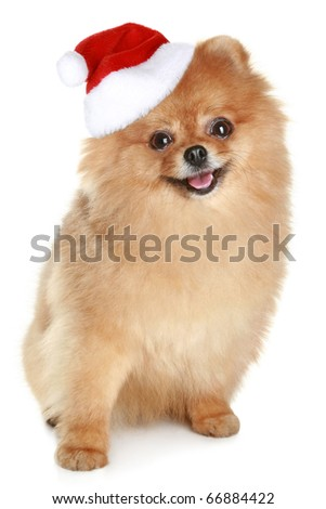 Ridiculous spitz-dog in santa red hat sits on a white background - stock photo