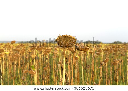 ried sunflowers during the long drought. Lost crop of sunflowers. - stock photo
