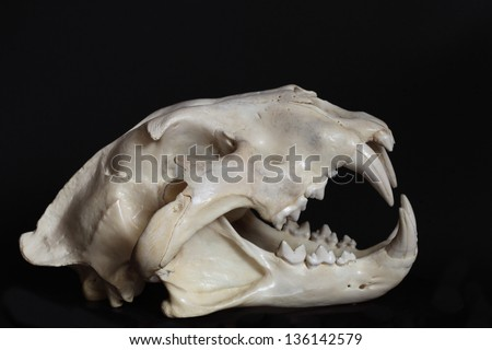 Right hand side view of a lion skull against black background - stock photo