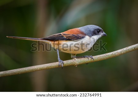 Right side of Burmese Shrike (Lanius collurioides) on the branch in nature of Thailand
