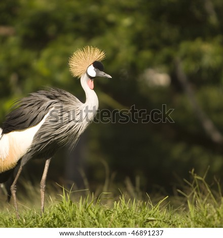 Right Side view of African Crown Crane standing in grass - stock photo