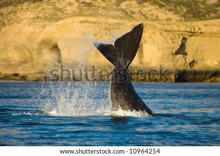 right whale in Puerto Piramides, Peninsula Valdes, Patagonia, Argentina - stock photo