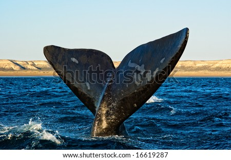 Right whale in Puerto Piramides, Peninsula Valdes, Patagonia, Argentina. - stock photo