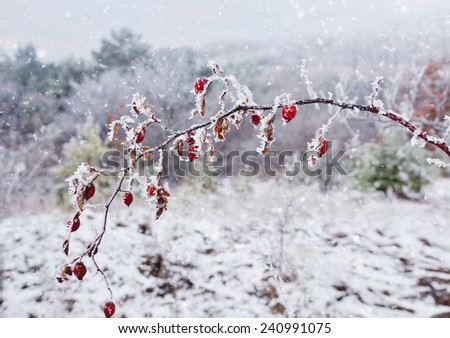 Rime covered branch of wild rose with red berries - stock photo