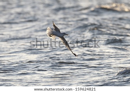 Ring-billed Gull (Larus delawarensis) in Flight Over Lake Huron - Grand Bend, Ontario